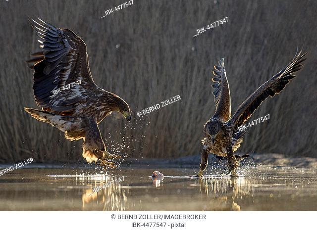 White-tailed eagle (Haliaeetus albicilla), young eagles fighting over fish carcass in shallow water, fishpond, Kiskunság National Park, Hungary