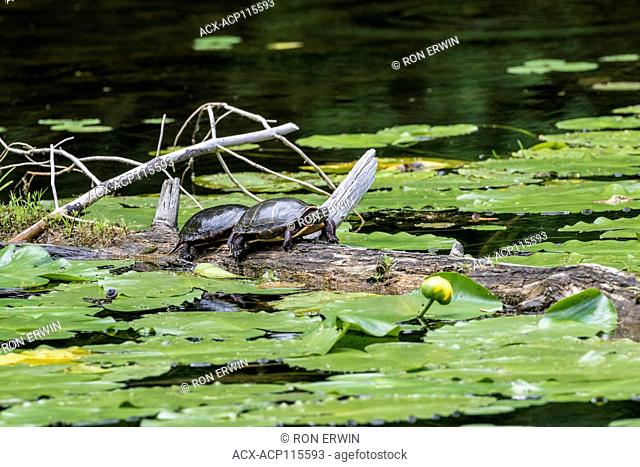 Midland Painted Turtles (Chrysemys picta marginata) sunning in the Pinery Provincial Park, Ontario, Canada