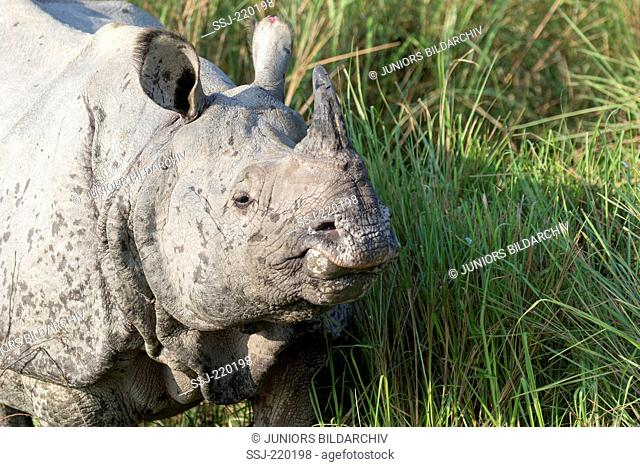 Indian Rhinoceros (Rhinoceros unicornis). Adult standing in elephant grass. Kaziranga National Park, India