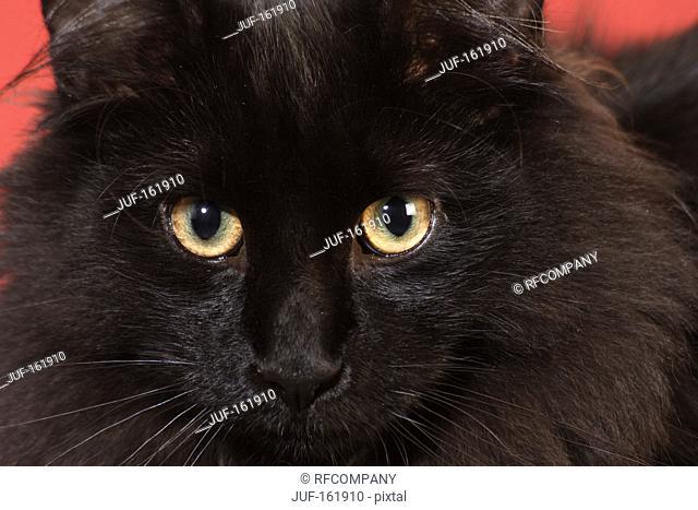Norwegian Forest cat - portrait - close-up