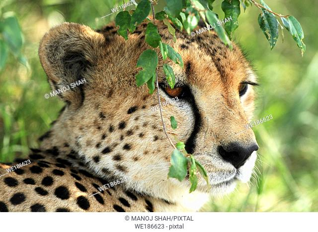 Resting under bushes this cheetah male also keeps a lookout for prey