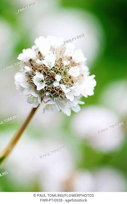 Thrift, Armeria juniperifolia 'alba', close up