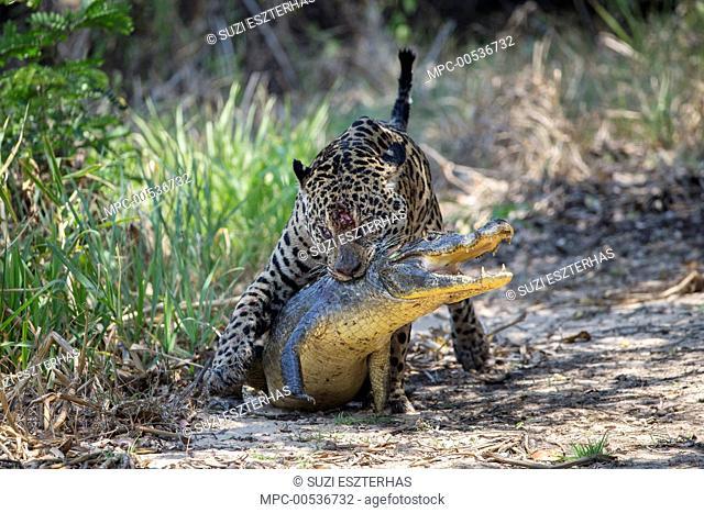 Jaguar (Panthera onca) killing caiman, Cuiaba River, Pantanal, Brazil