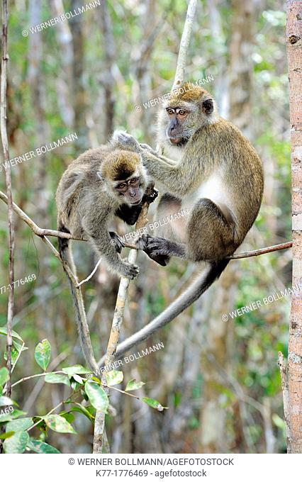Long-tailed Macaques Macaca fascicularis, grooming, Tanjung Puting National Park, Province Kalimantan, Borneo, Indonesia