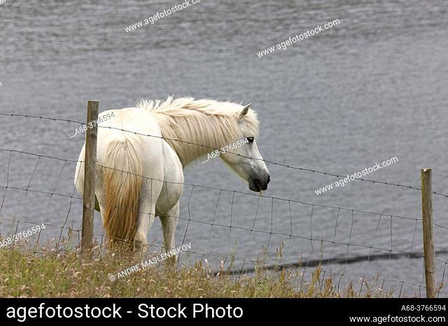 Horse in the Faroe Islands