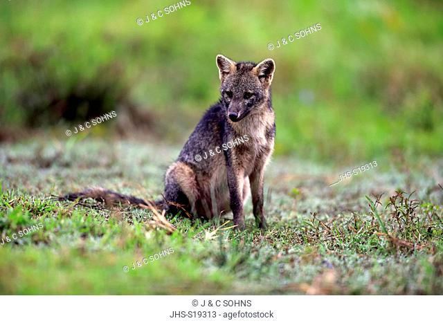 Crab-Eating Fox, (Cerdocyon thous), adult alert, Pantanal, Mato Grosso, Brazil, South America