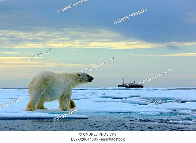 Polar bear on the drift ice with snow, blurred cruise vessel