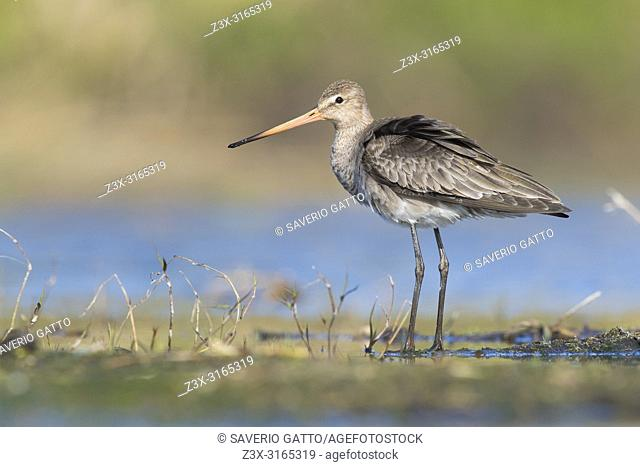 Black-tailed Godwit (Limosa limosa), adult in winter plumage standing in a swamp