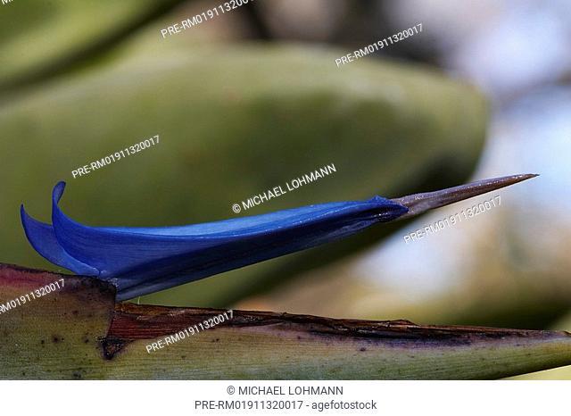 Bird of Paradise, Strelitzia, Crane Flower, Strelitzia reginae