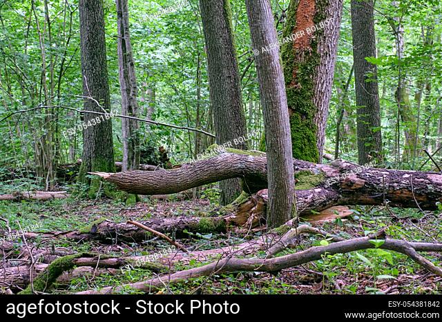 Alder tree deciduous stand in summer with lots of dead tree lying, Bialowieza Forest, Poland, Europe