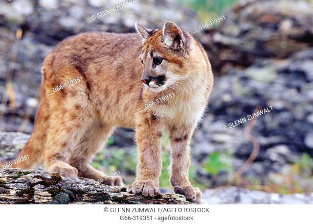 7 month mountain lion kitten (Puma concolor). Kalispell. Montana. USA