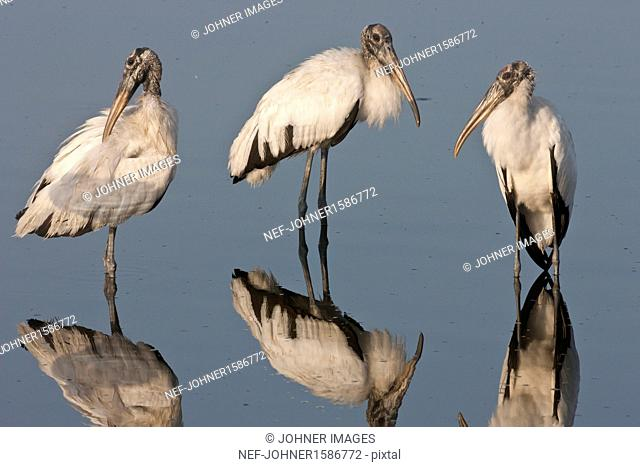 American wood ibises wading in lake