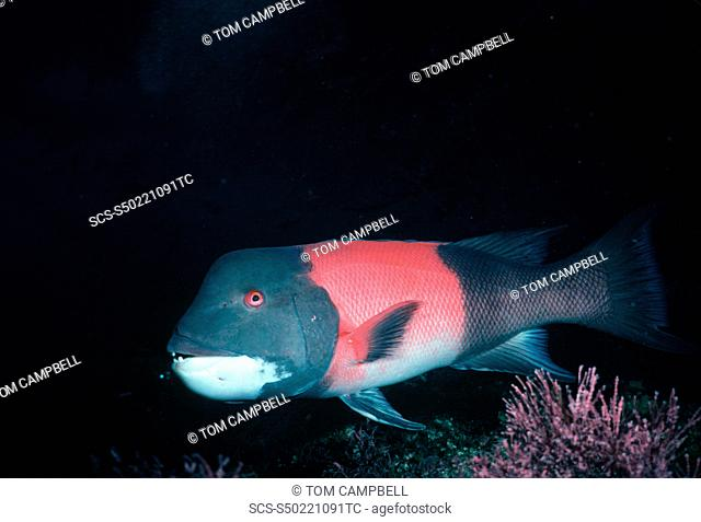 California Sheephead Semicossyphus pulcher USA, Channel Islands, CA