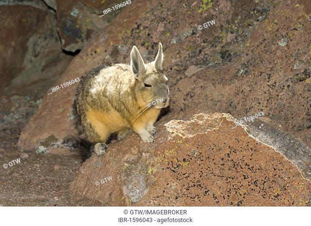 Southern Viscacha or Mountain Viscacha (Lagidium viscacia), Potosi, Bolivia, South America