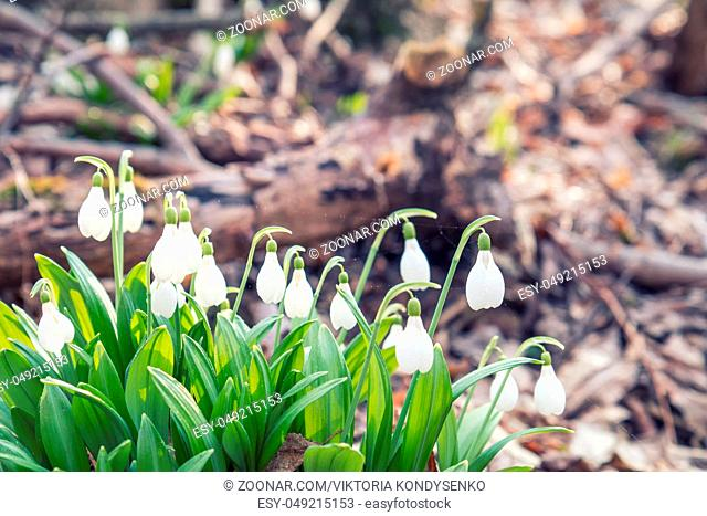 Beautiful springtime background. White blooming snowdrop folded or Galanthus plicatus with water drops. Low angle. Sunshine. Sunrise