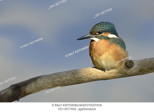 Cute young Common Kingfisher / Eurasian Kingfisher ( Alcedo atthis ) perching on a branch in spotlight, wildlife, Europe. .