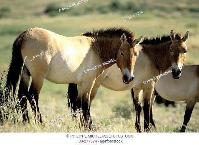 Takhi horses (Equus przewalkskii). Khustai National Park. Mongolia