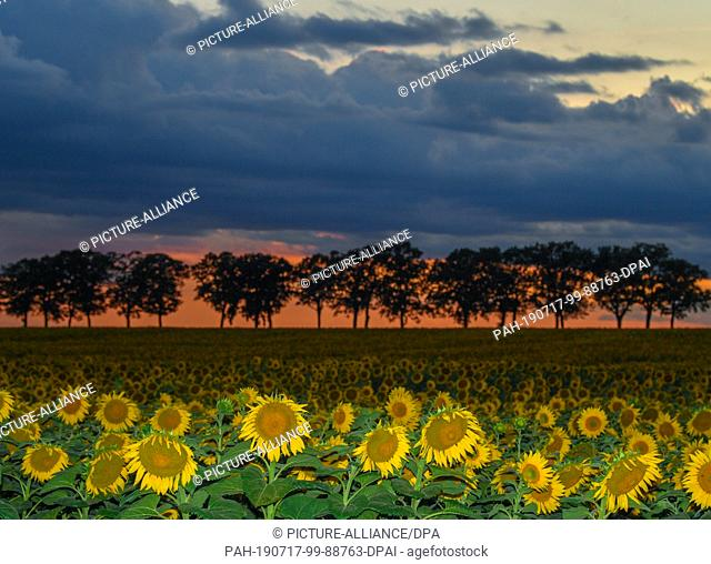 16 July 2019, Brandenburg, Sieversdorf: Shortly after sunset, dark clouds move across an avenue and a sunflower field in the Oder-Spree district