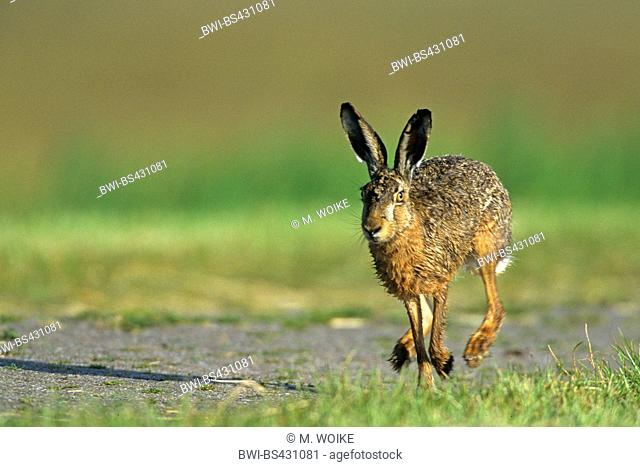 European hare, Brown hare (Lepus europaeus), running on a field path, Netherlands, Frisia