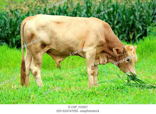 Image of a brown cow eating grass