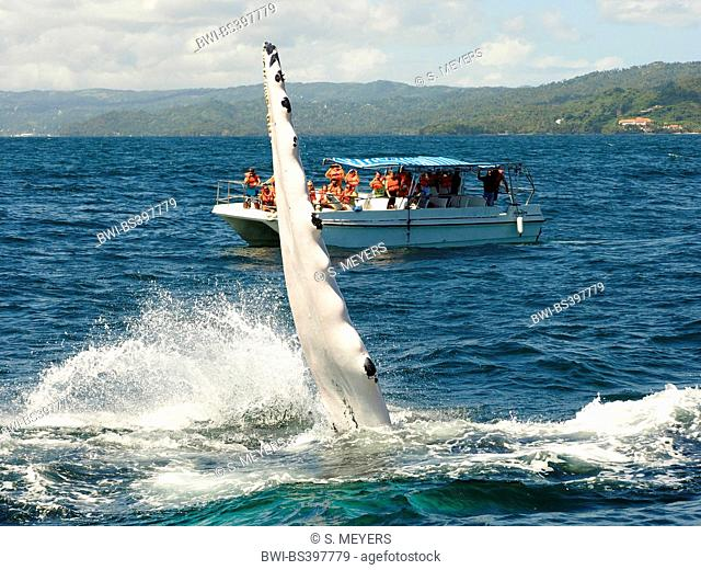 humpback whale (Megaptera novaeangliae), humpback whale slaps its fin, Whale Watching, Dominican Republic, Samana