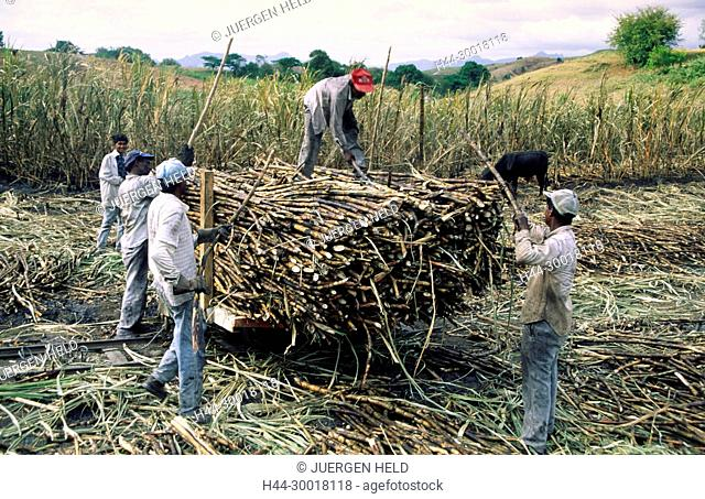 Fiji Islands, South pacific, workoers on a sugarcane field in Viti Levu, farmer