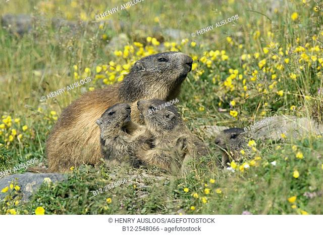 Alpine Marmot, adult and youngs playing (Marmota marmota), France
