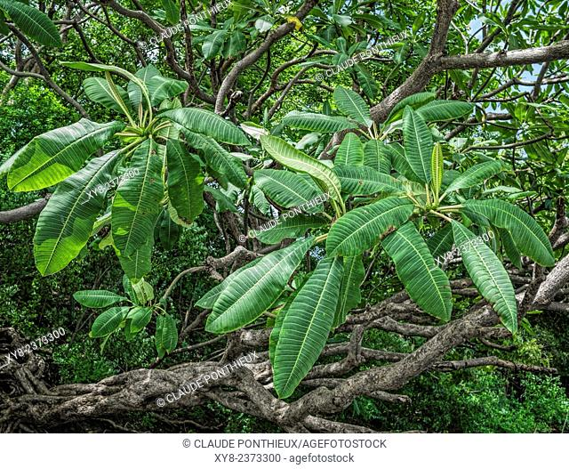 Tropical tree leaves, Guanacaste, Costa-Rica
