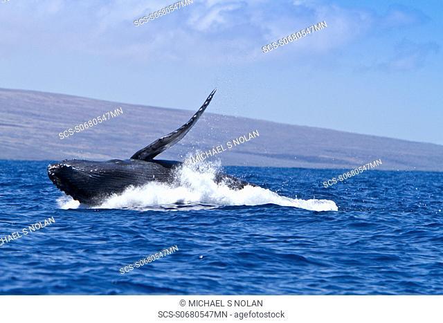 Humpback whale Megaptera novaeangliae calf breaching in the AuAu Channel between the islands of Maui and Lanai, Hawaii, USA