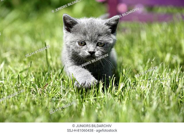 British Shorthair. Gray kitten (6 weeks old) walking on a lawn. Germany