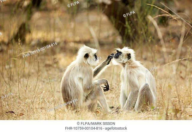 Northern Plains Grey Langur (Semnopithecus entellus) adult pair, mutual grooming, sitting on ground, Bandhavgarh N.P., Madhya Pradesh, India, February