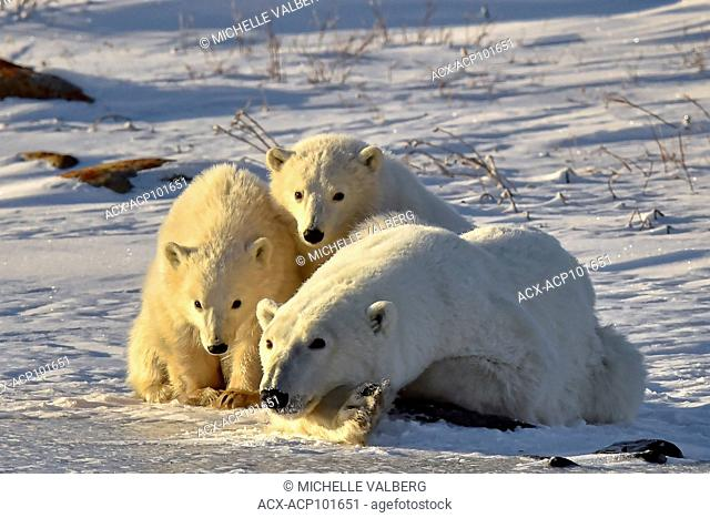 Female Polar Bears, Ursus maritimus, with two cubs in the Canadian arctic, Nunavut, Canada