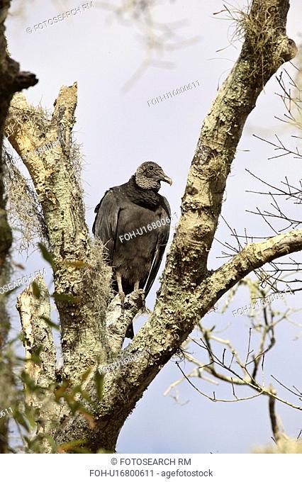 state, vulture, myaka, tree, perched, black