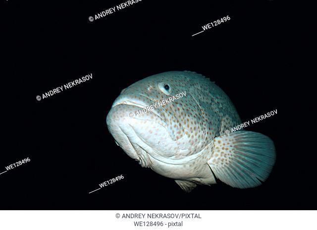 Malabar grouper or Greasy grouper (Epinephelus malabaricus) Red sea, Egypt