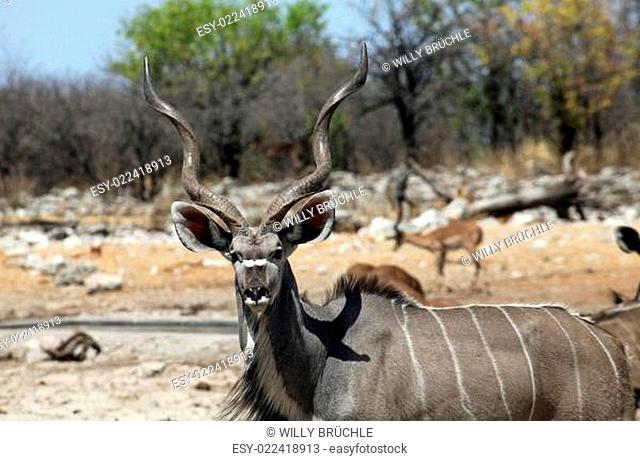 Kudu Bock