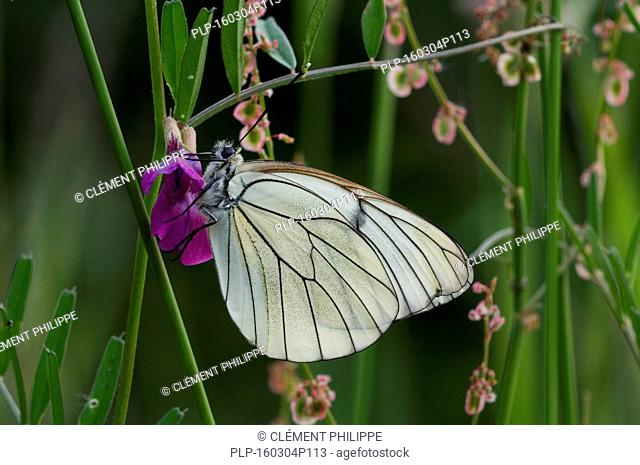 Black-veined white butterfly (Aporia crataegi) feeding on nectar from flower in meadow