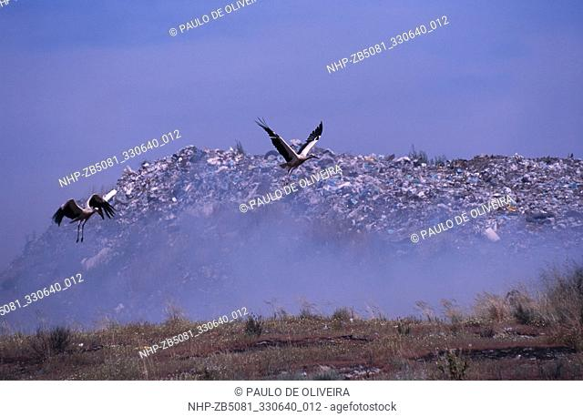 Two White Storks, Ciconia ciconia, flying open over burning dump where they look for food. An extensive body of scientific research has documented the dangers...