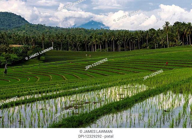 The Rice Terraces Of Northwest Bali; Bali, Indonesia