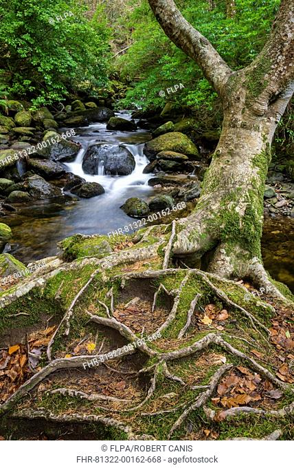 Roots of tree and woodland stream, near Torc Waterfall, Owengarriff River, Killarney N.P., County Kerry, Munster, Ireland, December
