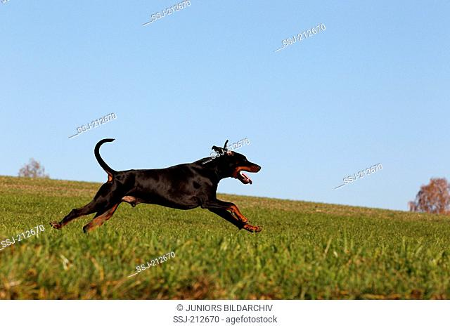 Doberman Pinscher. Adult male running on a meadow. Germany