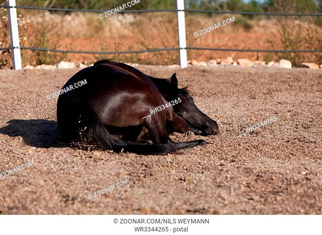 caballo de pura raza menorquina prm horse outdoor rolling on floor