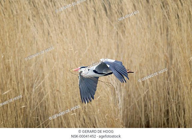 Grey Heron (Ardea cinerea) in flight with nesting material, Netherlands, Flevoland, Lepelaarsplassen
