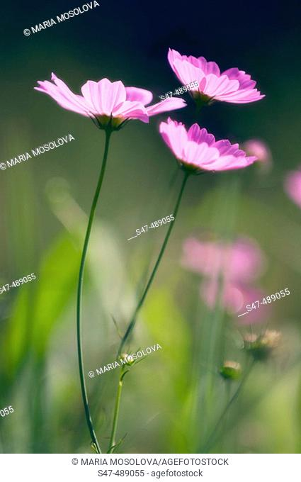 Three Mexican Aster Flowers (Cosmos bipinnatus) blooming in a meadow. Maryland, USA