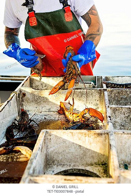 Fisherman measuring lobster
