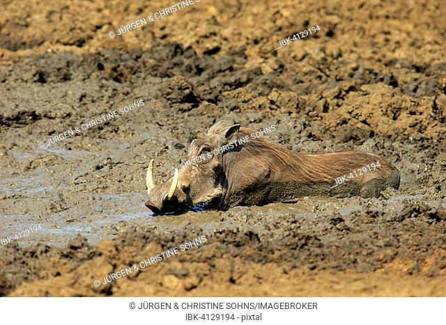 Warthog (Phacochoerus aethiopicus), adult, having a mud bath, Kruger National Park, South Africa