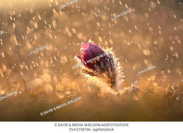Bloom of a Pulsatilla (Pulsatilla vulgaris) in the grassland on a rainy evening in early spring, Bavaria, Germany