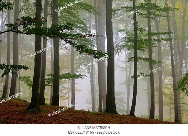 Buchenwald im Nebel - beech forest in fog 02
