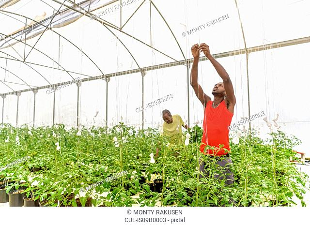 Workers tying up tomato plants in Hydroponic farm in Nevis, West Indies