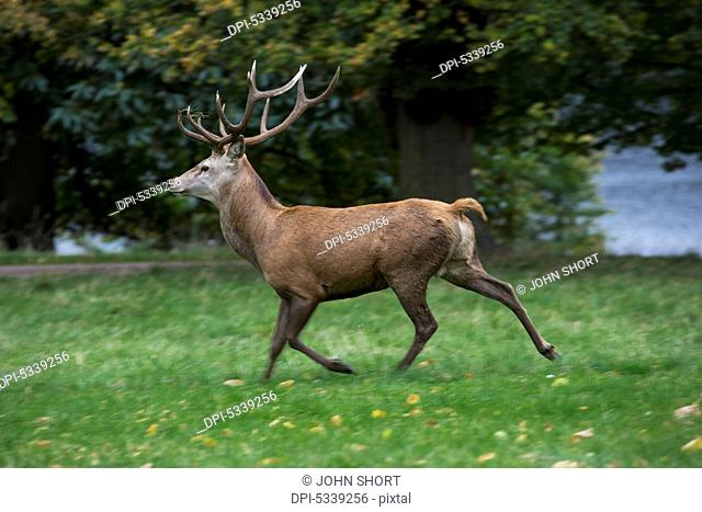 A deer with rack of antlers walking on lush grass at the water's edge; Yorkshire, England