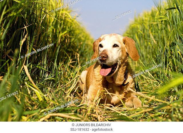 Labrador Retriever (16 years). Old dog lying in a corn field